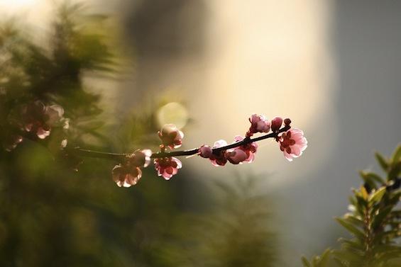 plum tree poetry