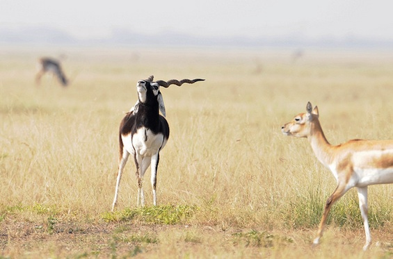 Ghazal Poetry Gazelles