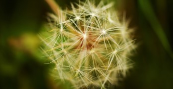 Dandelion Poetry Prompt