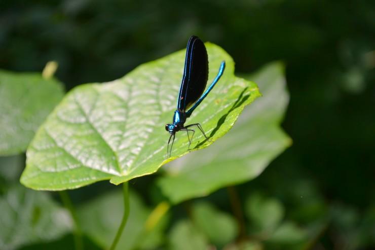 Spring Creek Prairie Audubon Center Denton Nebraska blue dragonfly