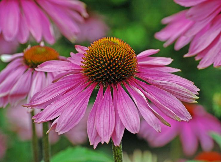Spring Creek Prairie Audubon Center cone flower