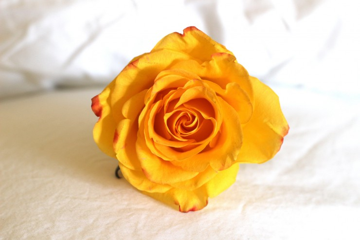 Poem on Your Pillow Day yellow rose on white pillow