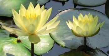 water lily Elizabeth Onuska