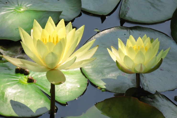 water lily - Poetic Voices: Elizabeth Onusko and Athena Kildegaard
