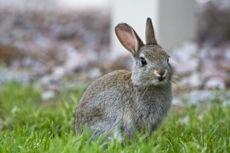 Committing Prufrock poetry memorization bunny in garden
