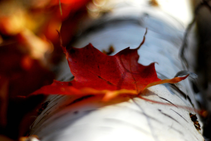 Red Maple Leaf Michelle Menting