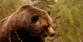 bears & beasts poetry prompt