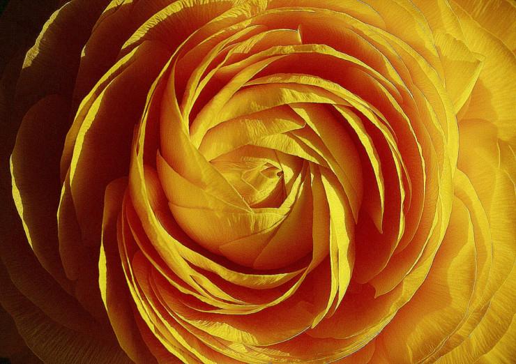 Yellow Rose Sara Teasdale