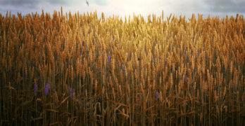 Bucking Hay harvest