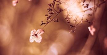 Flowering Tree Maddox
