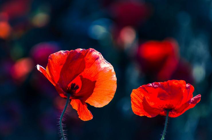Poppies Mary Borden World War I