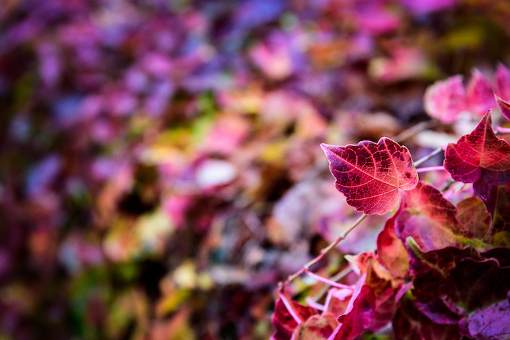 Beautiful Red Leaves Juliet Thoughts