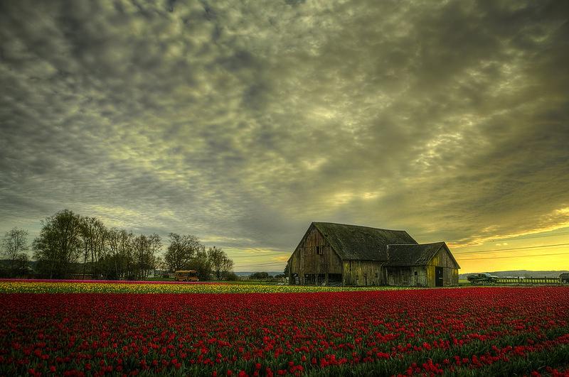 Tulip field David Bottoms