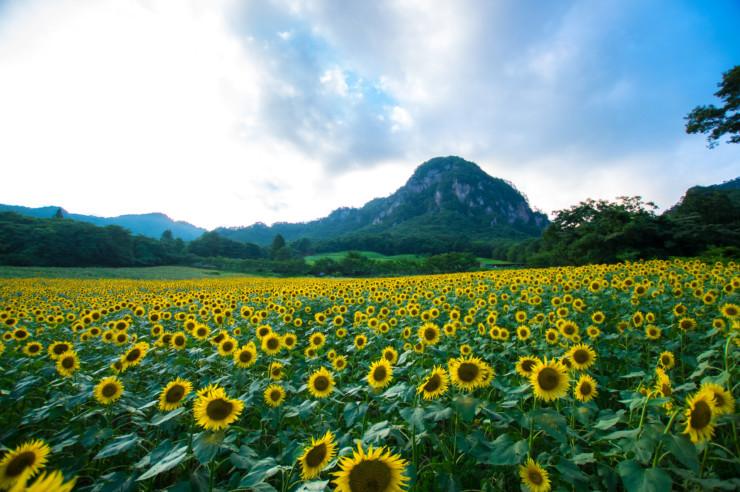 How to Think Like Leonardo da Vinci sunflowers