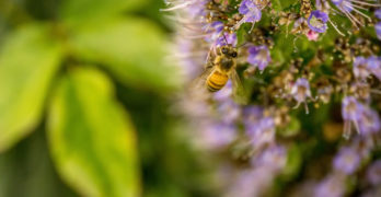 bee pollen purple flower