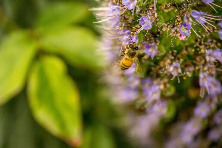 bee pollen purple flower