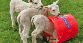 Delightful sheep with bucket