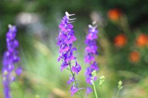Joyful Partnership Poetry and Memoir Purple Wild Flowers