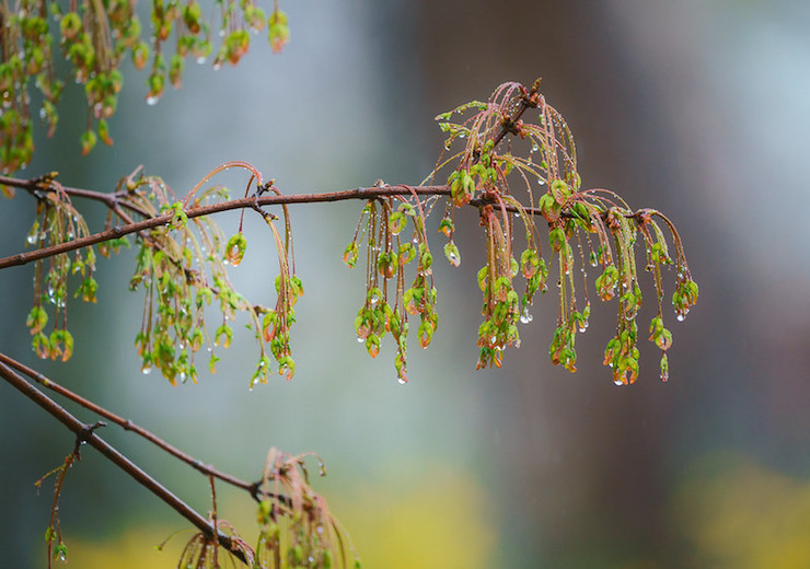 Rockville Maryland Twinbrook Maple in Rain-John Drury Ghazal