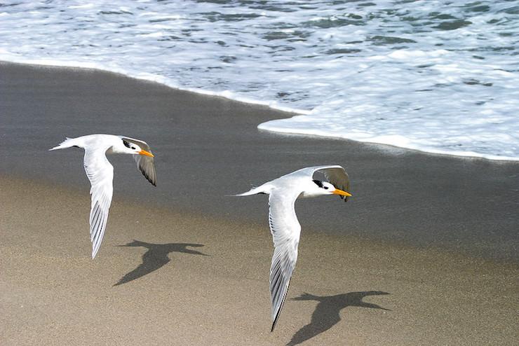 Black cap gull sea Villanelle poem