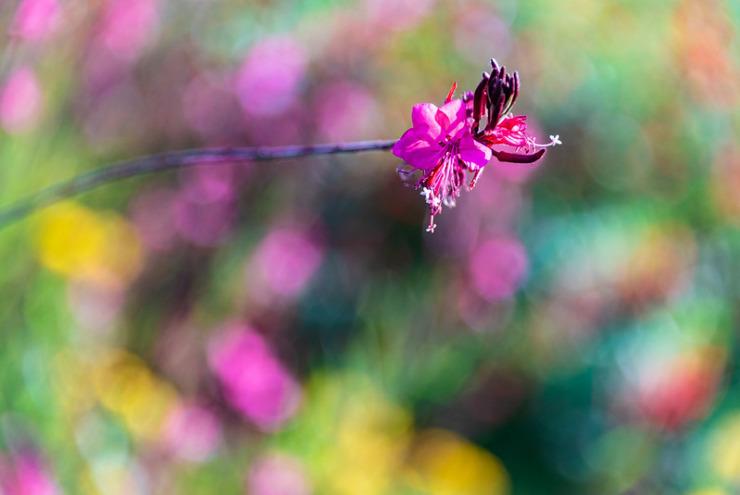 Dark pink flower on bokeh