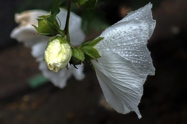 White Rose of Sharon-Sestina to Bind a Goodbye Family Poem