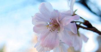 apple blossom Washington DC-apple poem Susan Rothbard