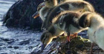 Ducklings at water edge