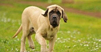 Mastiff puppy hangdog face