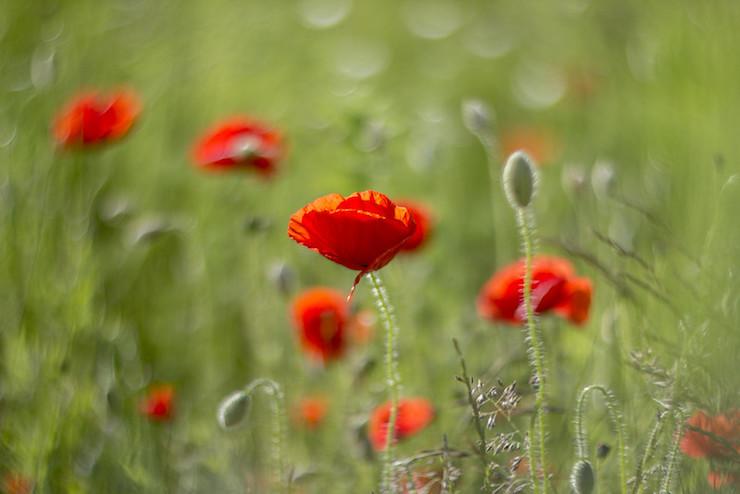 Red Poppies At Mile 37 poem