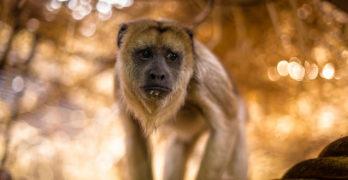 Barbary macaque - possessive grammar