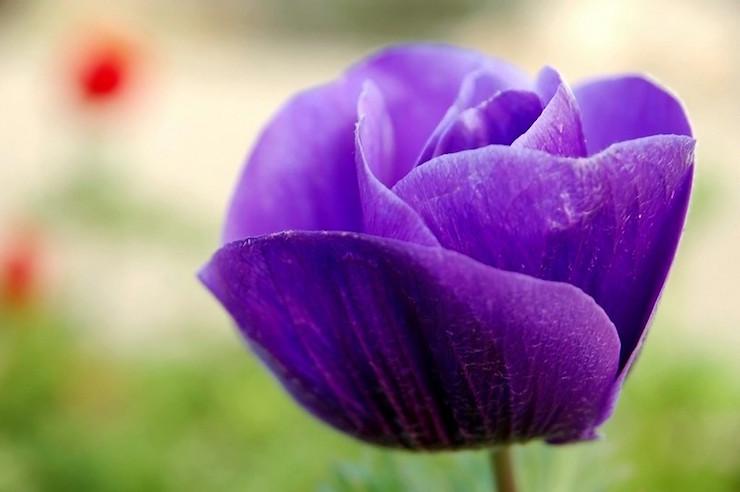 Purple anemone flower homeshcooling vs virtual learning