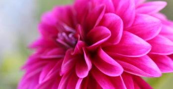 Large pink flower