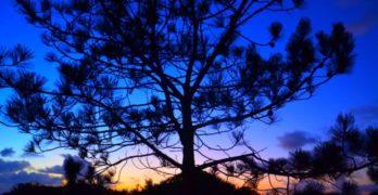 Christmas pine tree sunset
