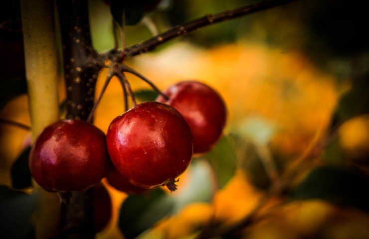 red crabapples on branch in sun